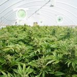 commercial-cannabis-crop