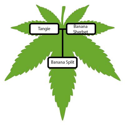 Banana-Split-Strain-Lineage-Tree