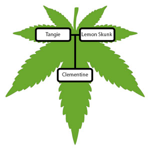 Clementine-Strain-Lineage-Tree