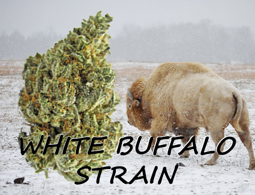 title-image-white-buffalo-strain