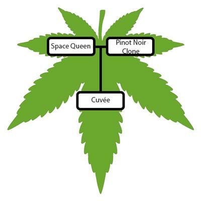 Cuvee-Strain-Lineage-Tree
