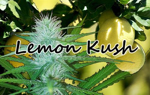 Title-image-lemon-kush